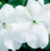 IMPATIENS ACCENT PREMIUM WHITE