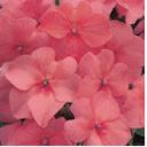 IMPATIENS ACCENT PREMIUM SALMON