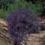LOBELIA RIVIERA AZUL (240 Plantas.)
