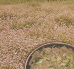 Semillas de Trigo Sarraceno