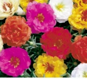 PORTULACA SUNSEEKER MIX