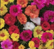 PORTULACA HAPPY HOUR (240 Plantas).