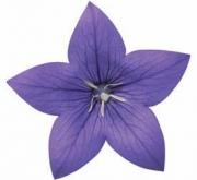 PLATYCODOM ASTRA BLUE (240 Plantas).