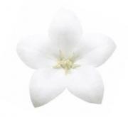 PLATYCODOM ASTRA WHITE (240 Plantas).