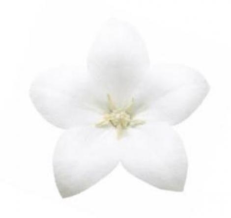 PLATYCODOM ASTRA WHITE