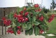 Begonias Híbridas