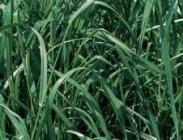 Semillas de Ray Grass Westerwold