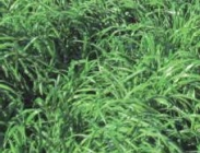 Semillas de Ray Grass Híbrido