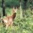 CERVIREP Ciervos y Cabras Montesas (500 Bolsitas) - Mínimo 8 envases.