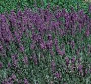LAVANDA HIDCOTE BLUE (144 Plantas).