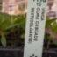VINCA CORA CASCADE MIXT (240 Plantas).