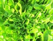 Semillas de Lechugas Hoja de Roble Verde