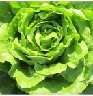 Semillas de Lechugas Trocadero Verde Y Roja