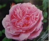 Rosales David Austin Roses ®
