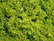 Semillas de Lechugas Lollo Verde y Lollo Bionda