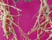 Semillas de Plantas Forrajeras Biocidas
