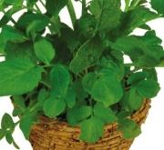VALERIANA VALERIAN (144 Plantas).