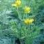 RUDA RUE (144 Plantas).