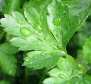 PEREJIL LISO FLAT (144 Plantas).