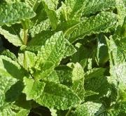 MENTA VERDE SPEARMINT (144 Plantas).