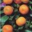 CALAMONDIN (Arbusto) -16