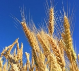 Semillas de Cultivos Extensivos