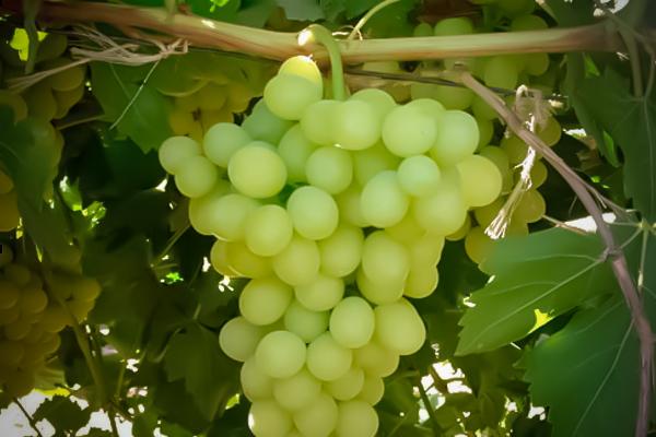 Uva de mesa aledo ri fitoagr cola - Variedades de uva de mesa ...