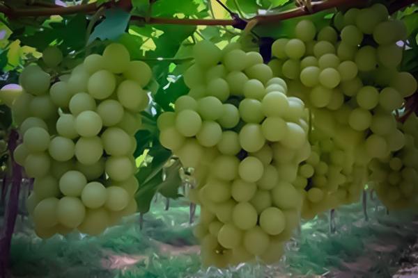 Uva de mesa sugraone pa fitoagr cola - Variedades de uva de mesa ...