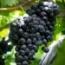UVA DE MESA AUTUMN BLACK [RI] - PLANTA INDIVIDUAL