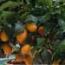 KUMQUAT -16 (Arbusto)
