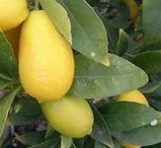 LIMEQUAT (Arbusto) - 16