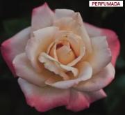 ROSAL LAETITIA CASTA ® - Meilampairo