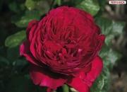 ROSAL ALAIN SOULCHON ® Meikarouz