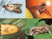 Difusores para Plagas Cultivos Agrícolas