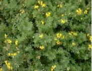 Semillas de Lotus Corniculatus