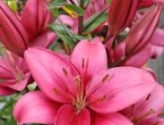 Liliums Asiáticos y Liliums Asiáticos Dobles