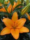 Liliums LA - Híbrido de Longiflorum x Asiático