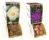 Rackboxes de Begonia, Gladiolo, Gloxinia, ...