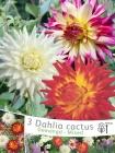 Dalias Cactus y Cactus Split