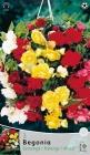 Begonias Bulbosas en Envases Pequeños