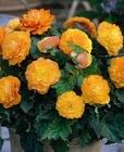 Begonias Bulbosas en Rackboxes