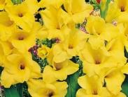 Gladiolos de Flor Grande
