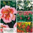 Hemerocallis, Ismeses, Oxalis y Montbretias