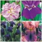 Iris Germánica, Ensata, Sibérica e Iris Pumila
