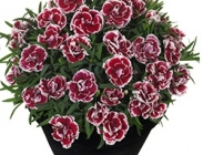 Dianthus (Claveles)