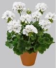 Geranios Pelargoniums Zonale