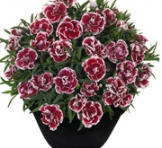 CLAVEL SUNFLOR SOFIA