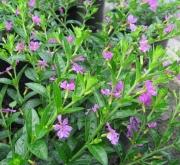 CUPHEA HYSSOPIFOLIA LILA (150 Plantas).