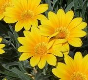 GAZANIA SPLENDENS AMARILLA (125 Plantas).