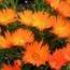 MESSEM NARANJA LAMPRANTHUS (84 Plantas).